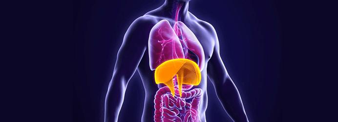 Muscle diaphragme : croquis de sa morphologie originale et innervation
